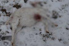 Kozy zagryzione przez husky. W³a¶ciciel psa poszukiwany