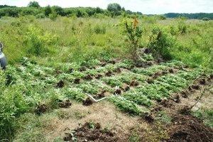 Plantacja konopi ukryta w lesie