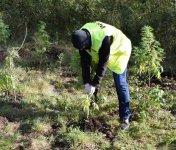 Plantacja marihuany ukryta w lesie