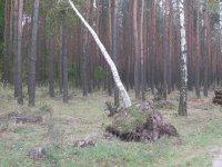 Co z drzewami po³amanymi w trakcie wichury?