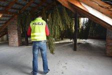 60 kg marihuany w domu. 35-latek zatrzymany