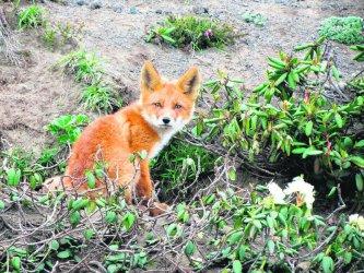 Skąd się wzięły lisy przy Kostromskiej?
