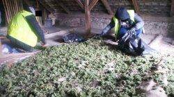 Marihuana w stodole i na strychu