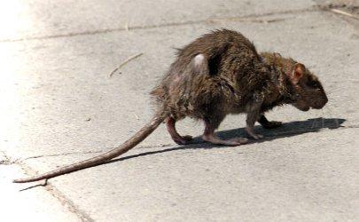 Czy w Piotrkowie mamy problem ze szczurami?