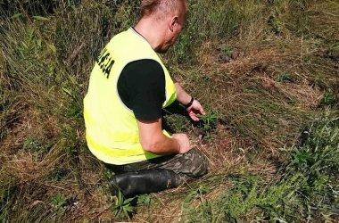 Policja zlikwidowała uprawę marihuany w gminach Rozprza i Gorzkowice
