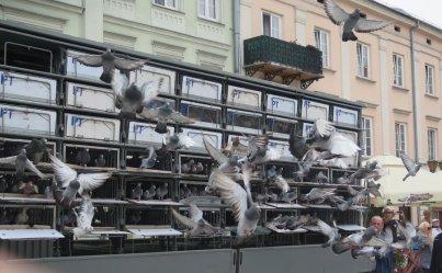 800 gołębi na 800-lecie Piotrkowa