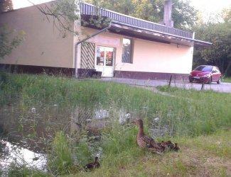 Kaczki zamieszkały w kałuży przy sklepie spożywczym