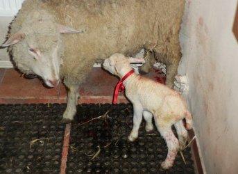 Podwójny cud narodzin w piotrkowskiej szopce. W niedzielę na świat przyszła owieczka