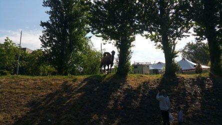 Wielbłądy lubią piotrkowskie drzewa