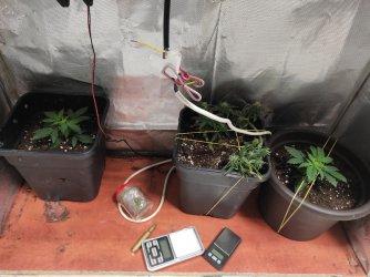 Piotrkowianin uprawiał w mieszkaniu marihuanę