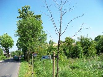 Dworska: Połowa nowych drzewek na śmietnik?
