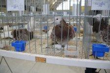 Moszczenica będzie gospodarzem ogólnopolskiej wystawy gołębi rasowych