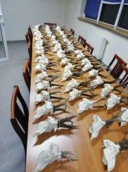 Nielegalny arsenał i żywy jastrząb u mieszkańca gminy Kamieńsk
