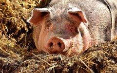 Około 50 świń utopiło się w gnojowicy