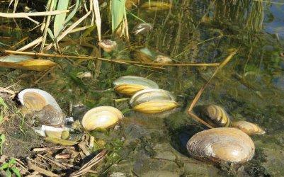 Śnięte małże w Bugaju