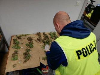 Gmina Wola Krzysztoporska: Plantacja marihuany w polu kukurydzy