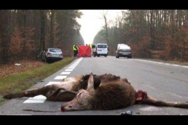 Śmiertelne zderzenie z jeleniem