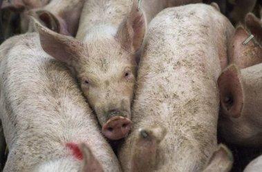 Hodowcy trzody chlewnej i pracownik Agencji Rynku Rolnego wyłudzili ponad 1 mln dotacji