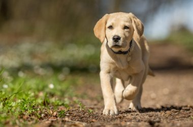 Labrador - poznaj charakterystykę rasy oraz podstawy odżywiania i pielęgnacji labradorów