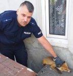 Policjanci z Wolborza uratowali lisa