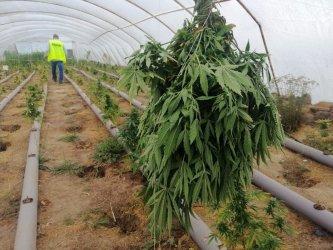 Plantacja marihuany zlikwidowana przez piotrkowskich policjantów