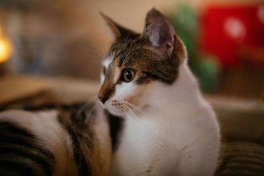Koronawirus SARS-CoV-2 może przenosić się z ludzi na koty