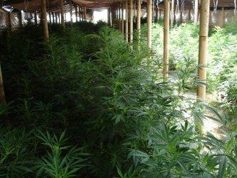 Zlikwidowano nielegalną plantację