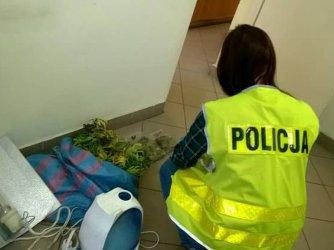 Mini plantacja marihuany na strychu