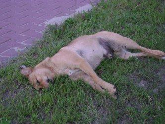 Uchwała i program gminy Sulejów dotyczący bezdomnych zwierzętach jest fikcją.