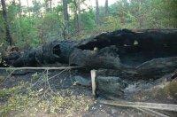 Region: Znowu podpalili Dąb Cygański