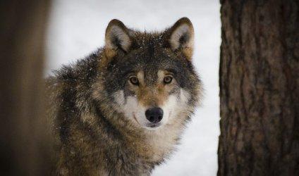 Wilki w naszym regionie