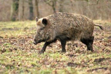 Piotrków i powiat piotrkowski: Chcą odstrzelić 331 dzików