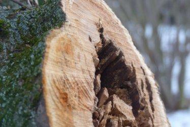 Radomsko: Spór o drzewa