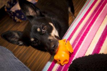 W Moszczenicy dopłacą do adoptowanego psa?