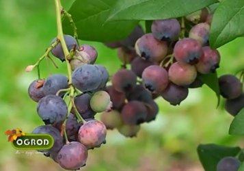 Ogród bez tajemnic: Jak pielęgnować krzewy borówki?
