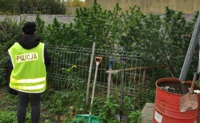 Piotrków: Policja zlikwidowała dwie plantacje marihuany