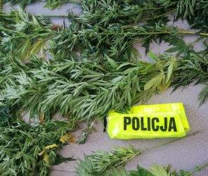 Policjanci zlikwidowali plantację marihuany