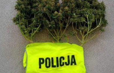 Piotrkowianin miał w domu 136 gramów marihuany i grzyby halucynogenne