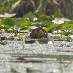 Żółw żółtobrzuchy w Zalewie Cieszanowickim?