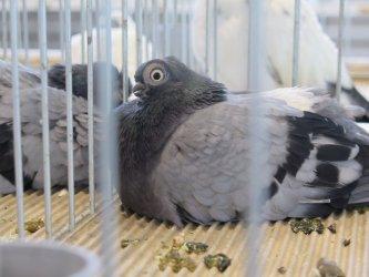 Moszczenica: wystawa rasowych gołębi