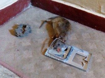 Na Wysokiej trwa walka ze szczurami
