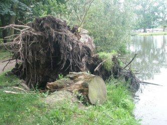 Przewrócone drzewo w parku Belzackim