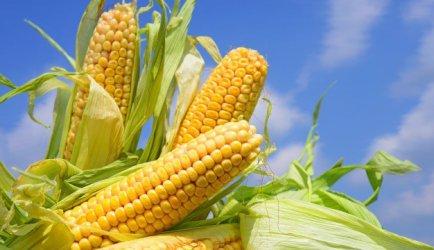 Wraca spór o GMO