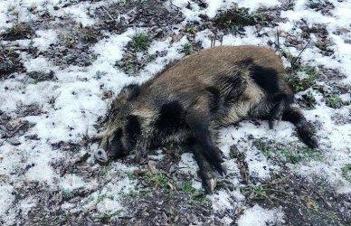 Martwy dzik w lesie przy Wolborskiej