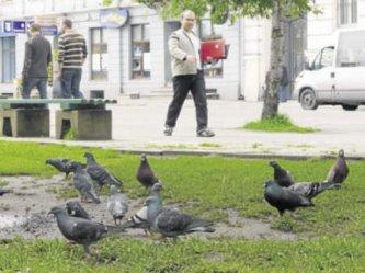 Piotrków: Są oburzeni przepisami na dania z gołębi