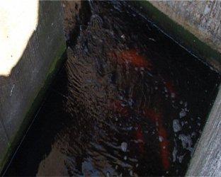 Tomaszów: Ryby… w oczyszczalni ścieków