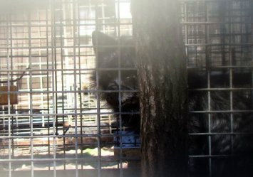 Sprawa właściciela fermy lisów trafi do prokuratury?