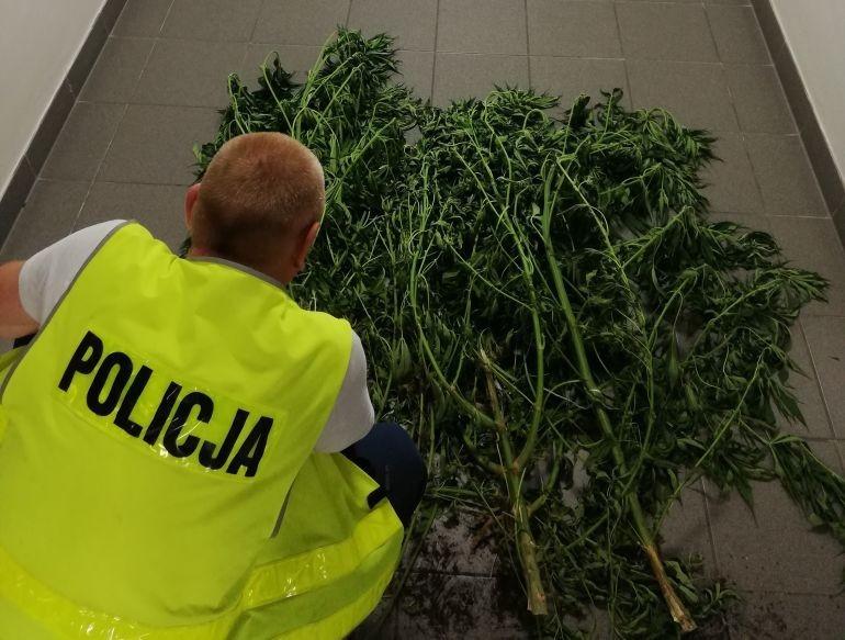 Uprawa marihuany przy stawach w gminie Grabica