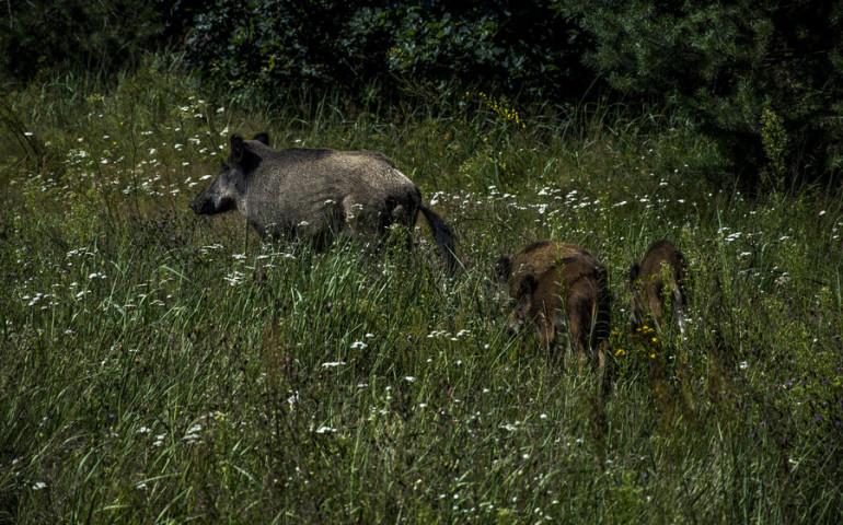 Dziki grasują pod Tomaszowem i Sulejowem