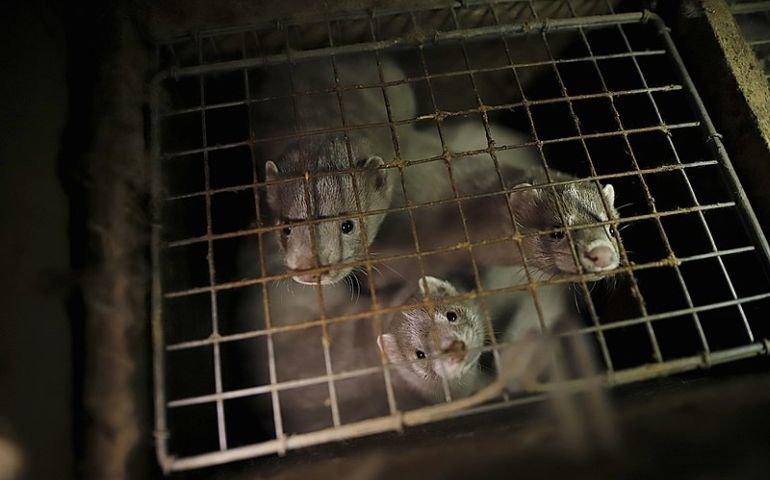 Koniec z barbarzyństwem wobec zwierząt futerkowych?